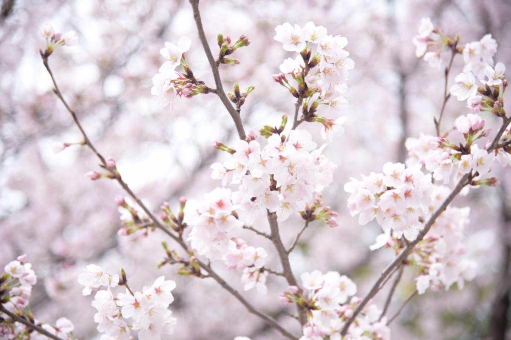 お花見2017.4_7978